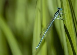 blue dragonfly sits on green grass