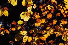Picture of beech leaves