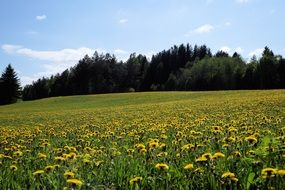 field of blooming dandelions