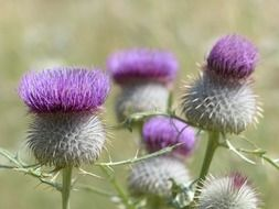 wool headed creeping thistle flower