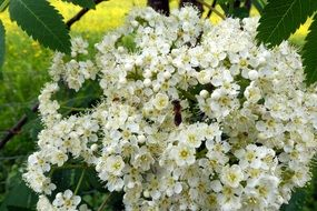 white flowers of rowan