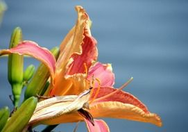 side view of a daylily