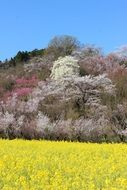 mountains with blooming cherry trees in fukushima