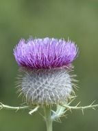 wool head creeping thistle
