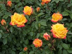 colorful miniature roses in the garden