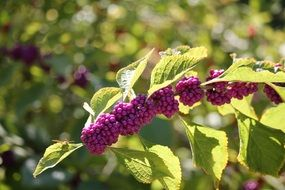 Purple berries on a branch