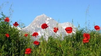 poppies mountain italy abruzzo