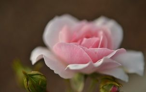 defocused pink rose bud