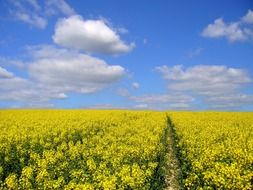 yellow rapeseed field on a sunny day
