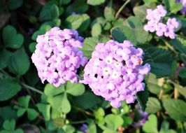 purple lantana flower