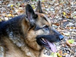 very beautiful german shepherd dog