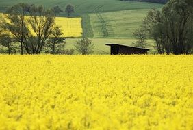 glaring oilseed rape field