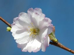 White ornamental cherry flower