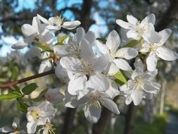 white flowers of an apple tree with long stamens