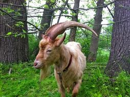 brown goat in a forest in county sussex