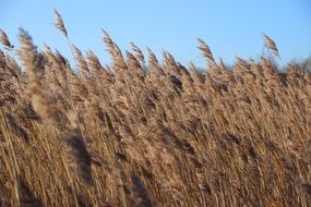 reed grass landscape