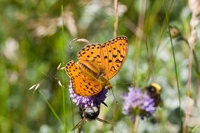 high brown fritillary on purple thistle
