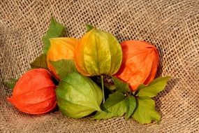 physalis as a bright plant
