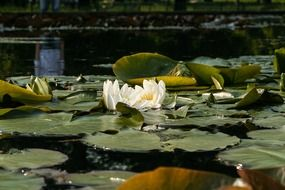 white water lily among the huge leaves on the water