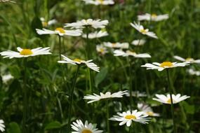 summer meadow of marguerites