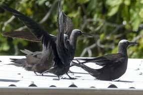 black petrels in the wild