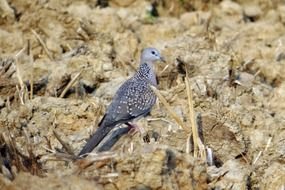 spotted dove in the wild