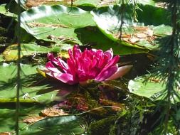 pink water lily among the huge leaves