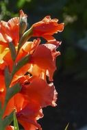 orange gladiolus flower