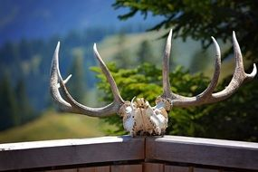 Deer skull with horns