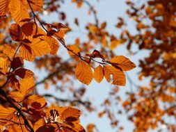 golden beech leaves against the sky