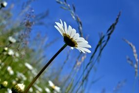 Beautiful white marguerite flowers