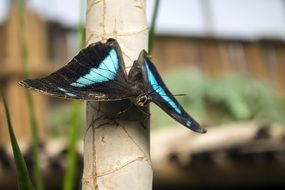 black butterfly with blue stripes on a tree stem