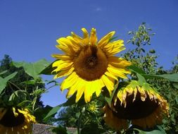 sunflowers under a clear blue sky
