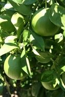 limes fruit tree california fresh