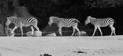 zebras animals black and white photo