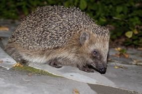 little hedgehog is walking along the path