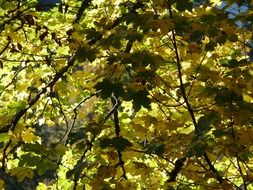 green leaves on a mountain maple