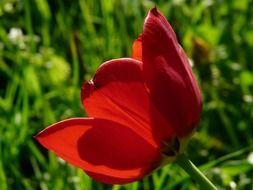 Side view of a tulip on the background of green grass