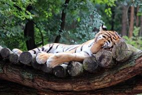 cute tiger cat resting portrait