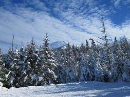forest fir trees winter snow snowy