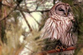 owl on a conifer tree