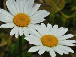 two sunny daisies