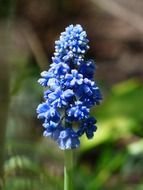 flowering blue hyacinth