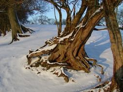 trees with big roots in a snowy landscape