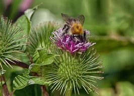 bee on the prickly flower