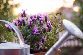 purple lavender plant in pot and watering can