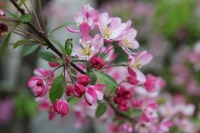 spring tree with delicate pink flowers