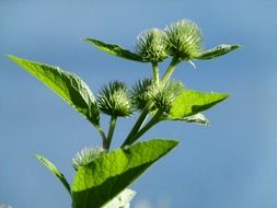 arctium, burdock twig with flower buds at sky