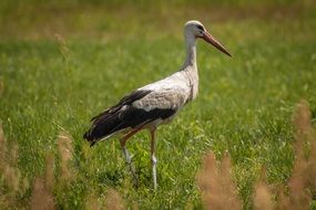 stork on a green meadow