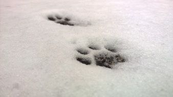 cat's paw track in snow